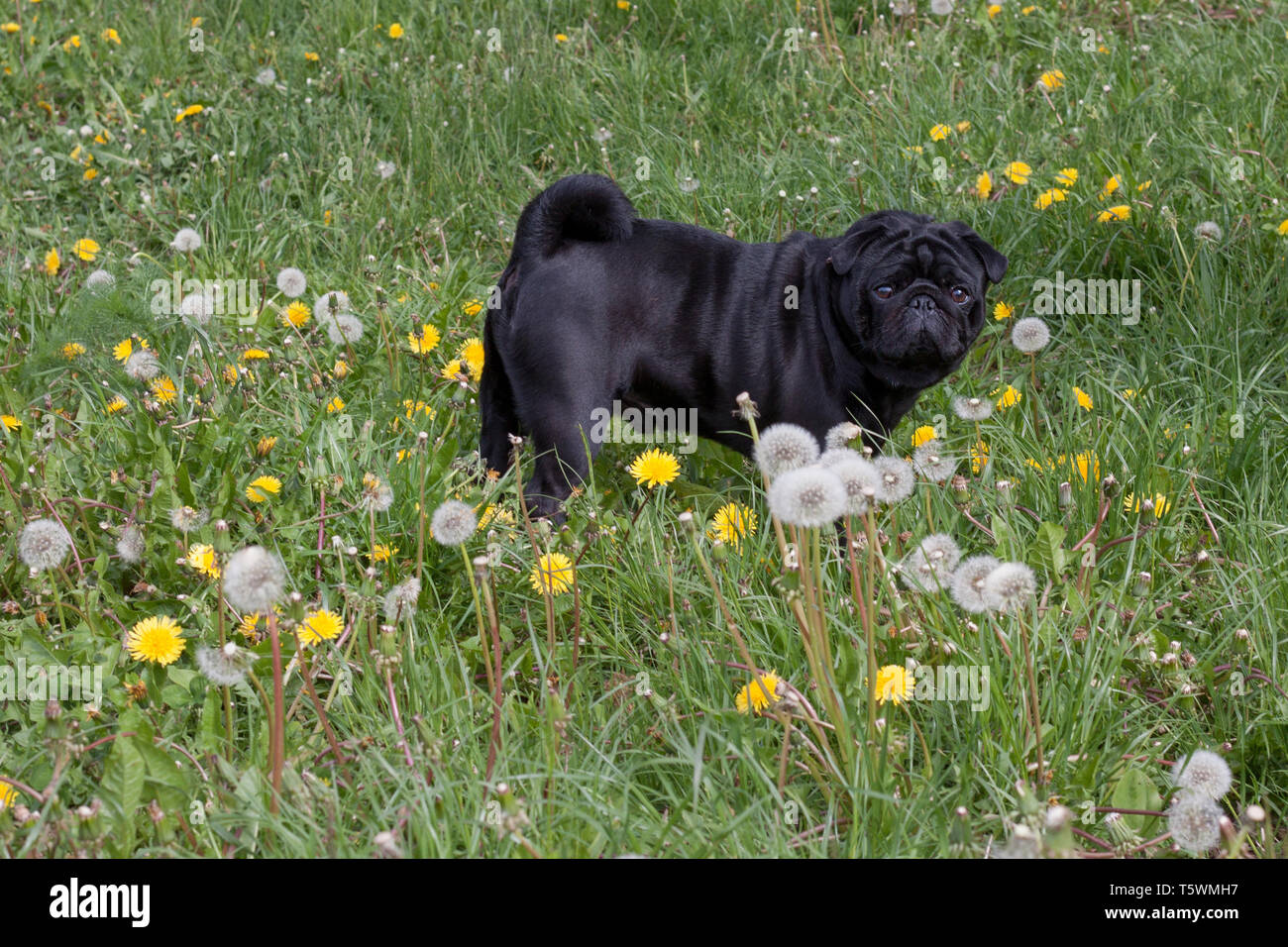 Chinese pug is walking on a blooming meadow. Dutch mastiff or mops. Pet animals. - Stock Image