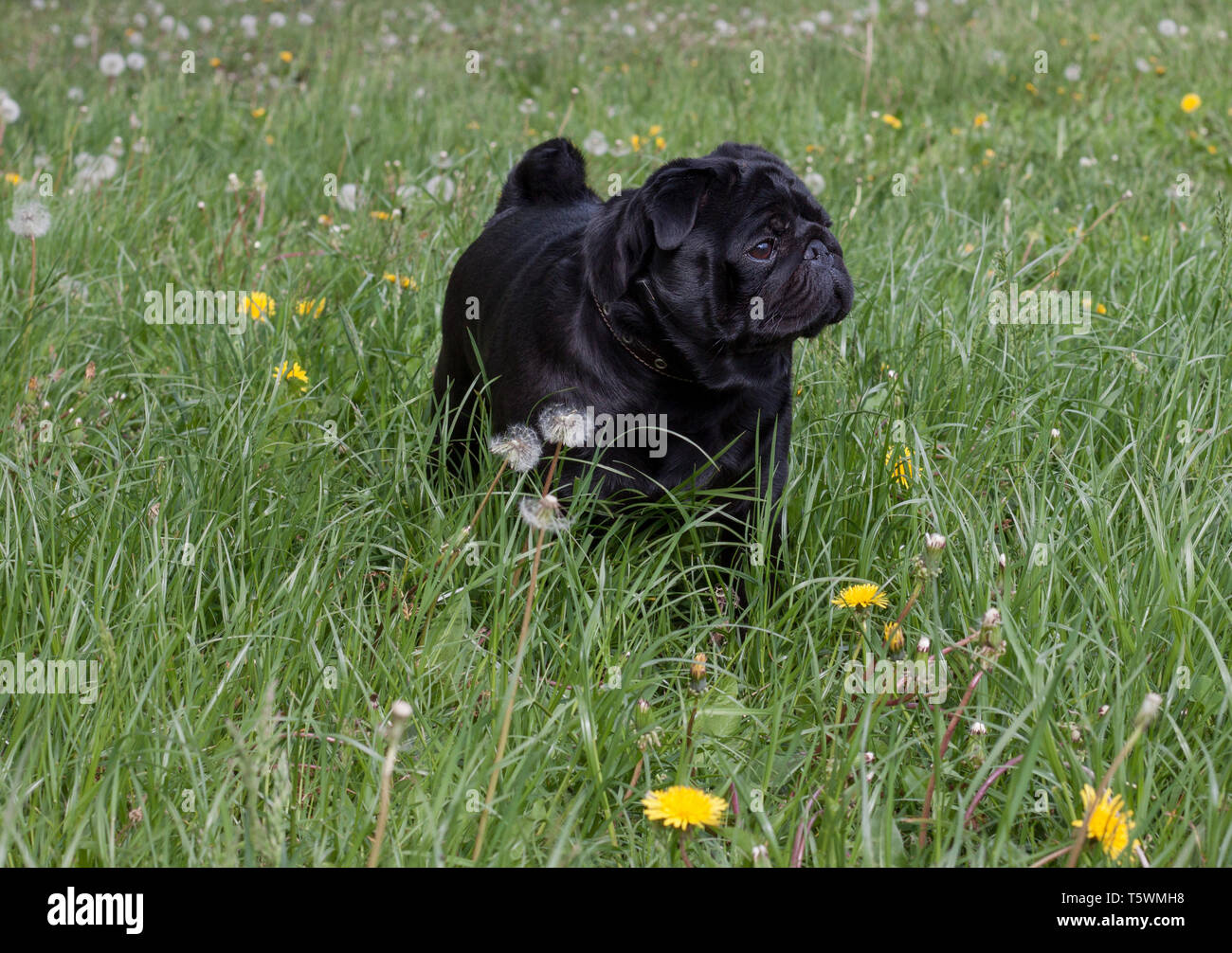 Chinese pug is standing on a spring meadow. Dutch mastiff or mops. Pet animals. - Stock Image
