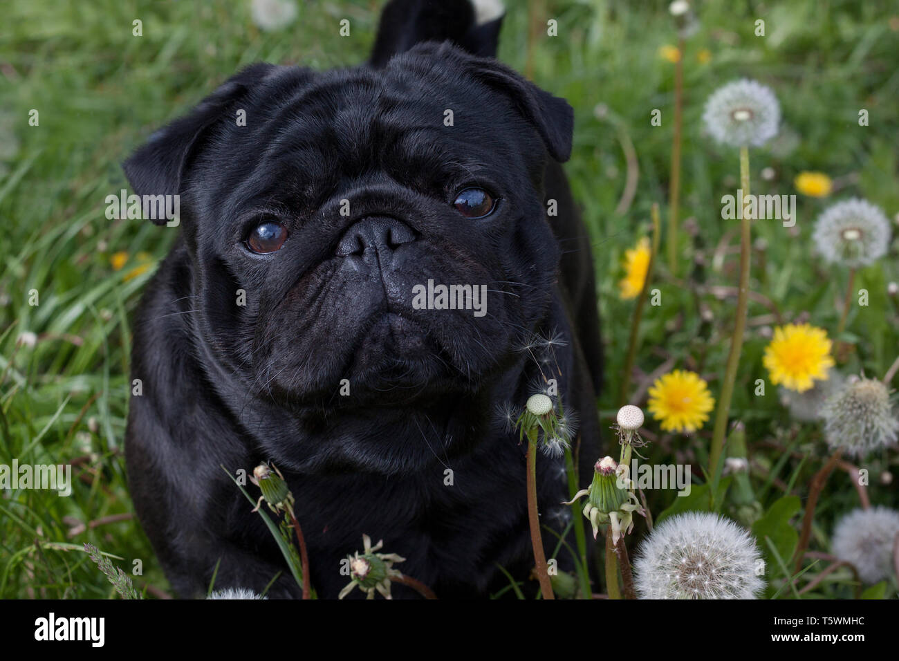 Chinese pug is standing on a blooming meadow. Dutch mastiff or mops. Close up. Pet animals. - Stock Image