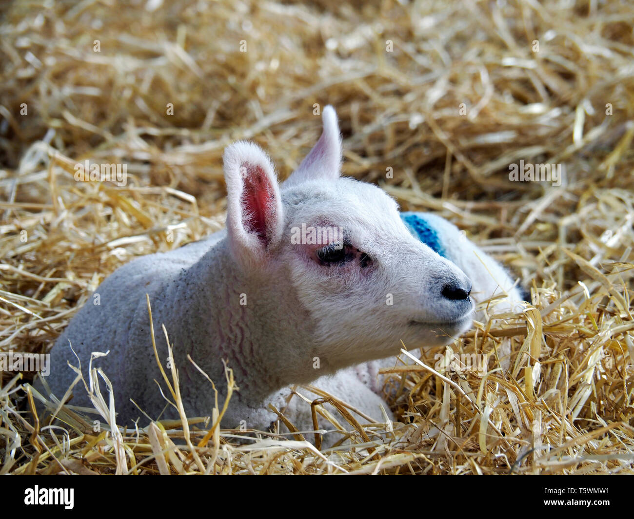 Young lamb lying on straw in a barn during lambing season. Barn lambing is easier for the farmer and provides better protection for the lambs. Stock Photo