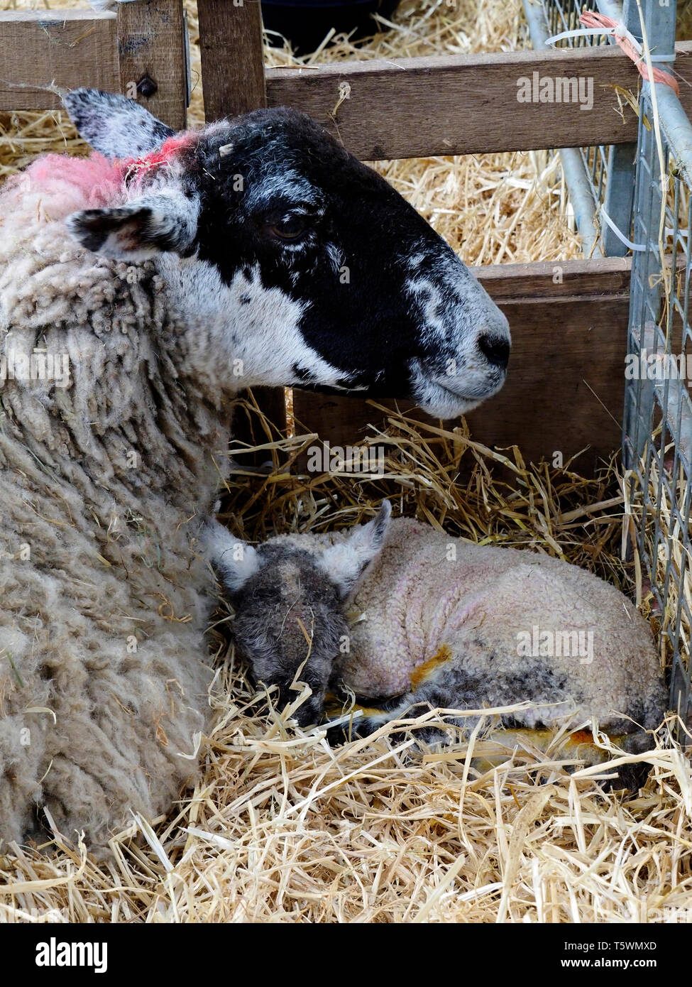 Ewe with young lambs lambs laying on straw bedding in a nursery barn on a farm in Norfolk. Stock Photo