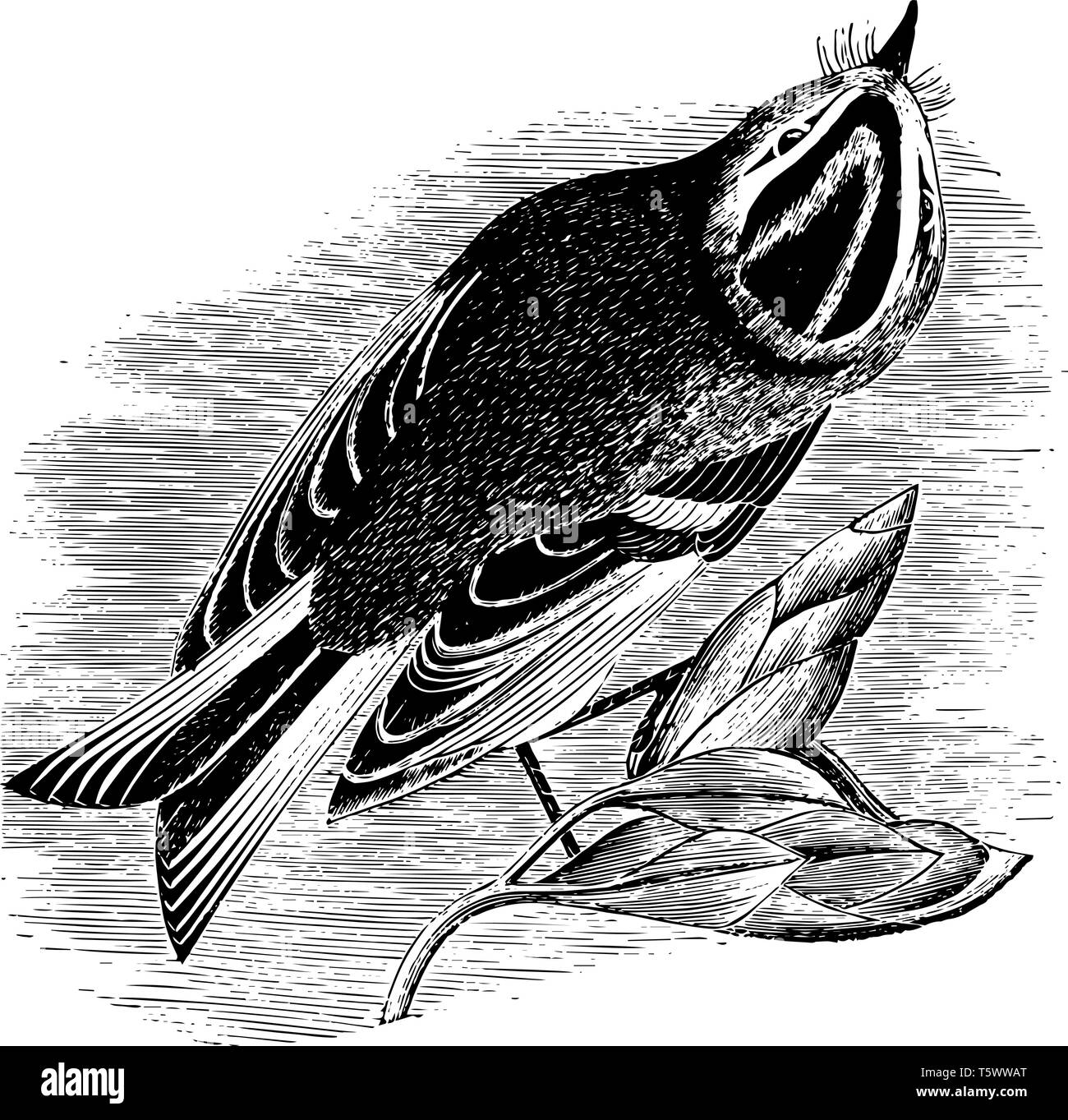 Golden Crested Kinglet is a very small songbird vintage line drawing or engraving illustration. - Stock Vector
