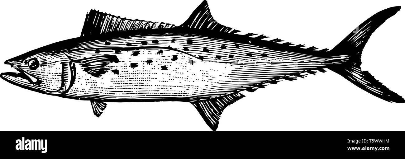 Atlantic Spanish Mackerel is a migratory species of mackerel common to the Gulf of Mexico vintage line drawing or engraving illustration. - Stock Vector