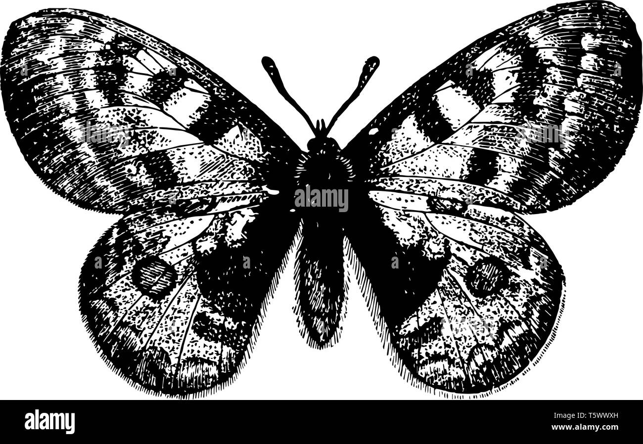 Parnassius Apollo which appears in June and July vintage line drawing or engraving illustration. - Stock Vector