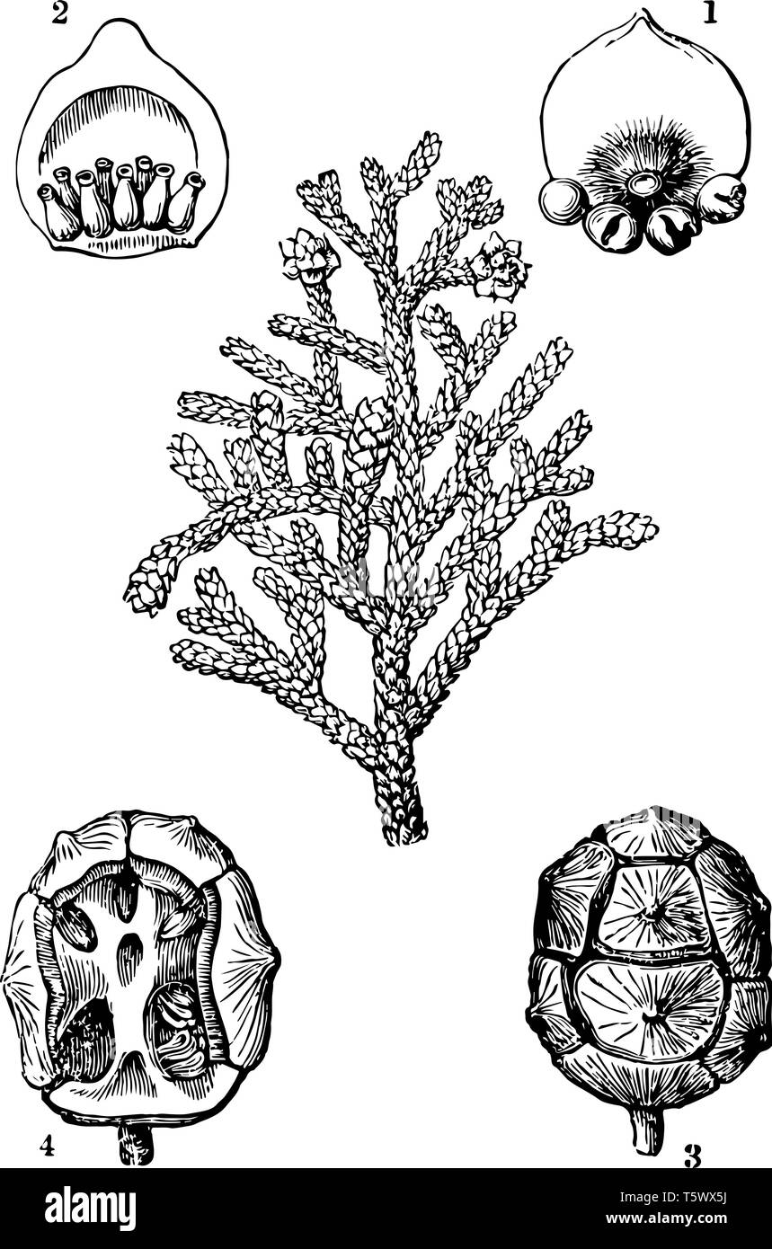A diagram showing different parts of Cypress plant which includes conifers cone ovary ripe cone and cone without scales vintage line drawing or engrav - Stock Vector
