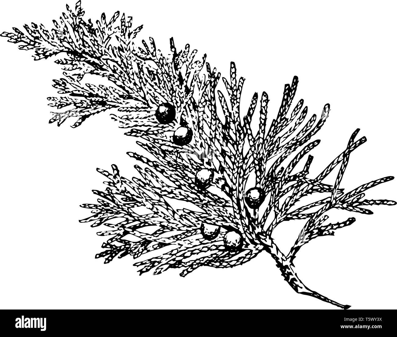 A Juniper branch with multiple fruits like berries on it, vintage line drawing or engraving illustration. - Stock Vector