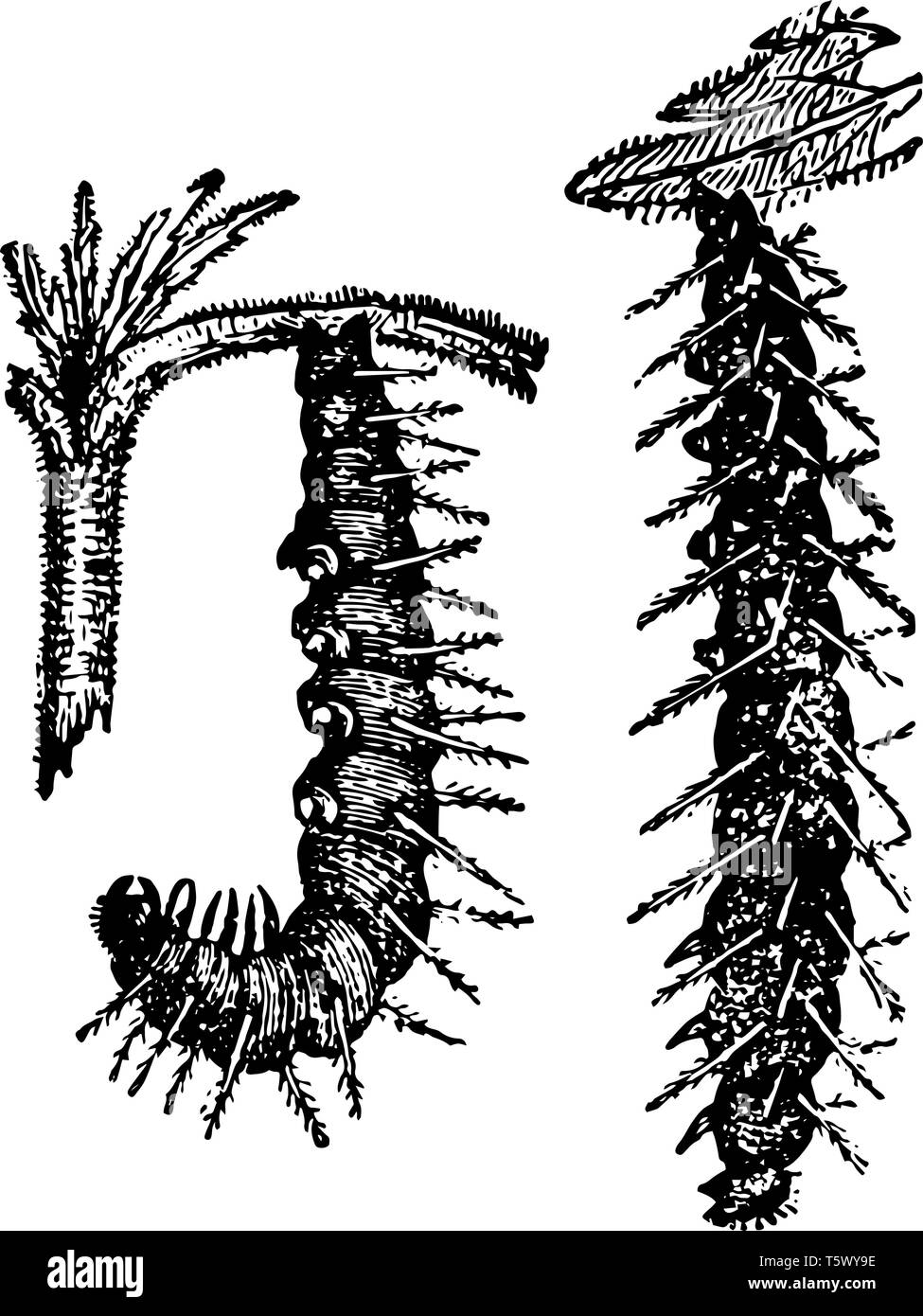 This image represents Caterpillars of the Small Tortoise shell Butterfly Undergoing Their Metamorphoses vintage line drawing or engraving illustration - Stock Image