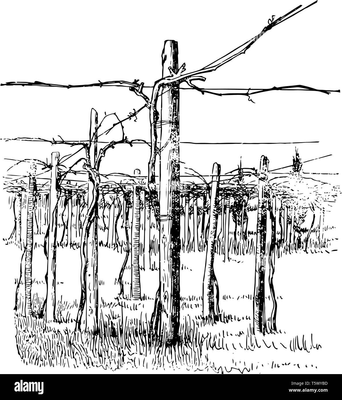 This illustration represents Cross Wire System of Grape Training which is another method of training which appears to be confined vintage line drawing - Stock Vector