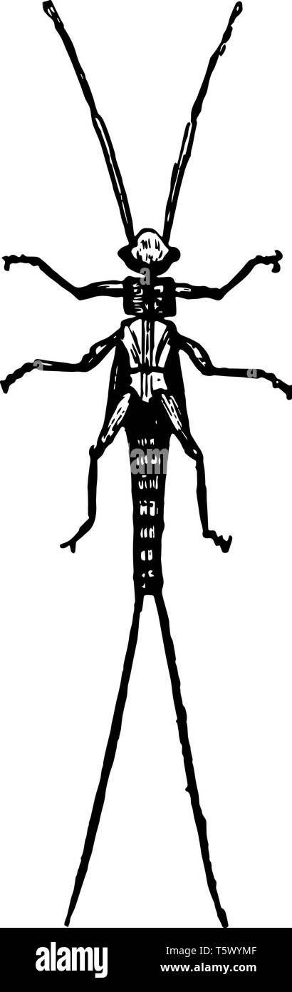 Larva of Nemoura which undergo incomplete metamorphoses vintage line drawing or engraving illustration. - Stock Image
