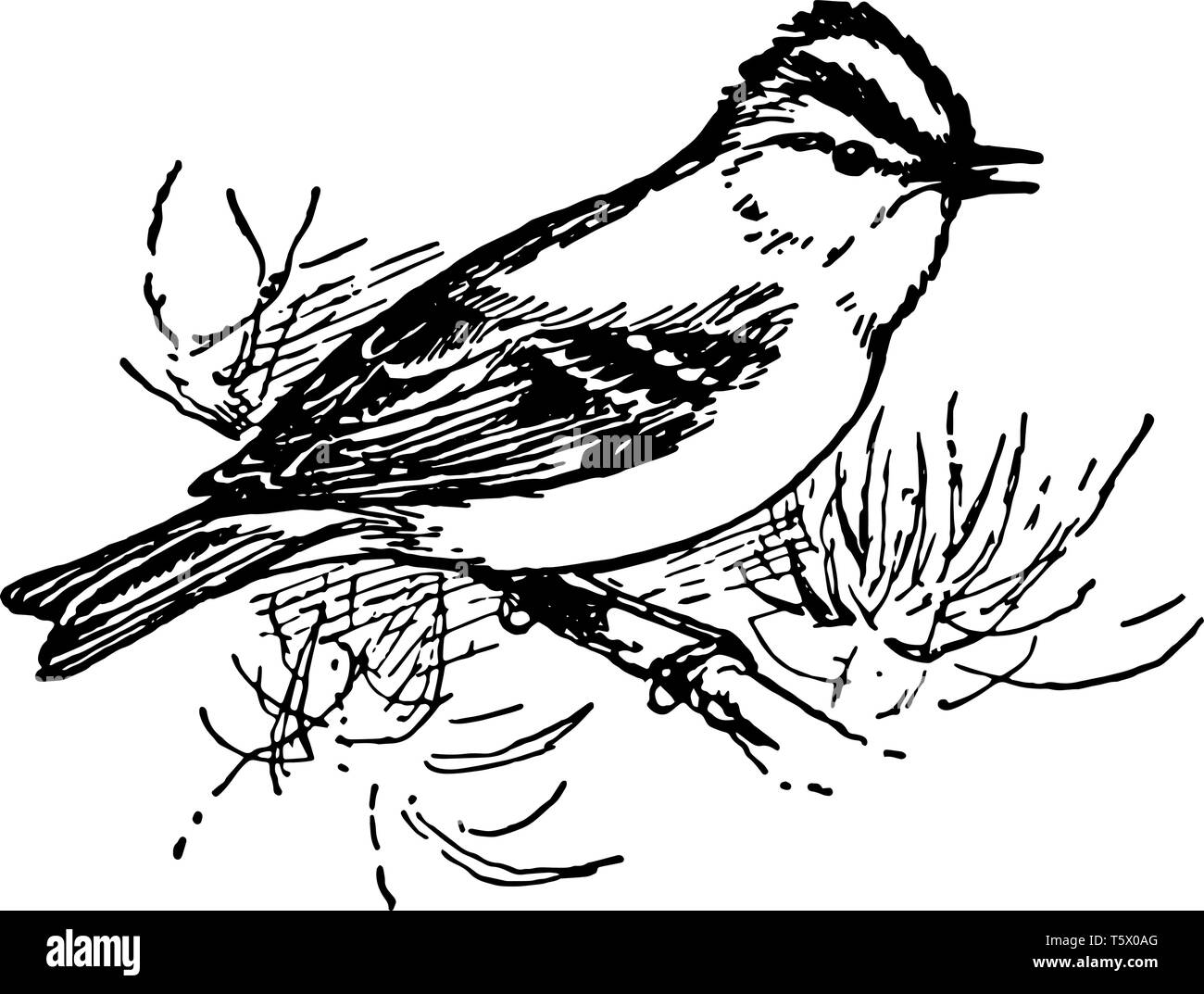 Golden Crested Wren is the smallest of European birds, vintage line drawing or engraving illustration. - Stock Vector
