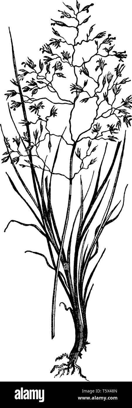 This showing part of hairy grass, its leaves are very slim and thin long, little flowers are separately growing on branch, vintage line drawing or eng - Stock Image