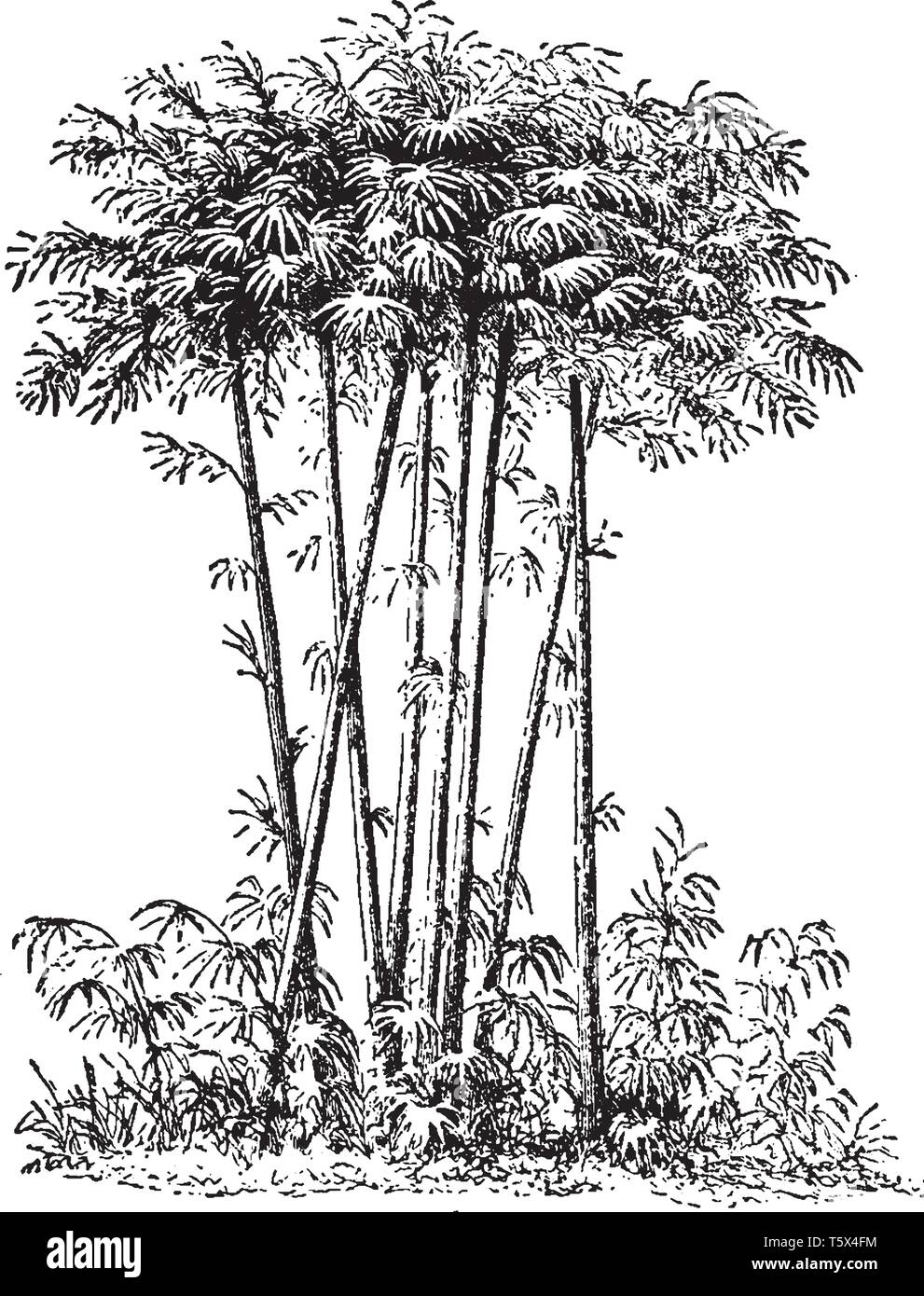 The two general patterns for the growth of bamboo are 'clumping' and 'running'. Bamboos are evergreen plants in the true grass family Poaceae and occu - Stock Vector