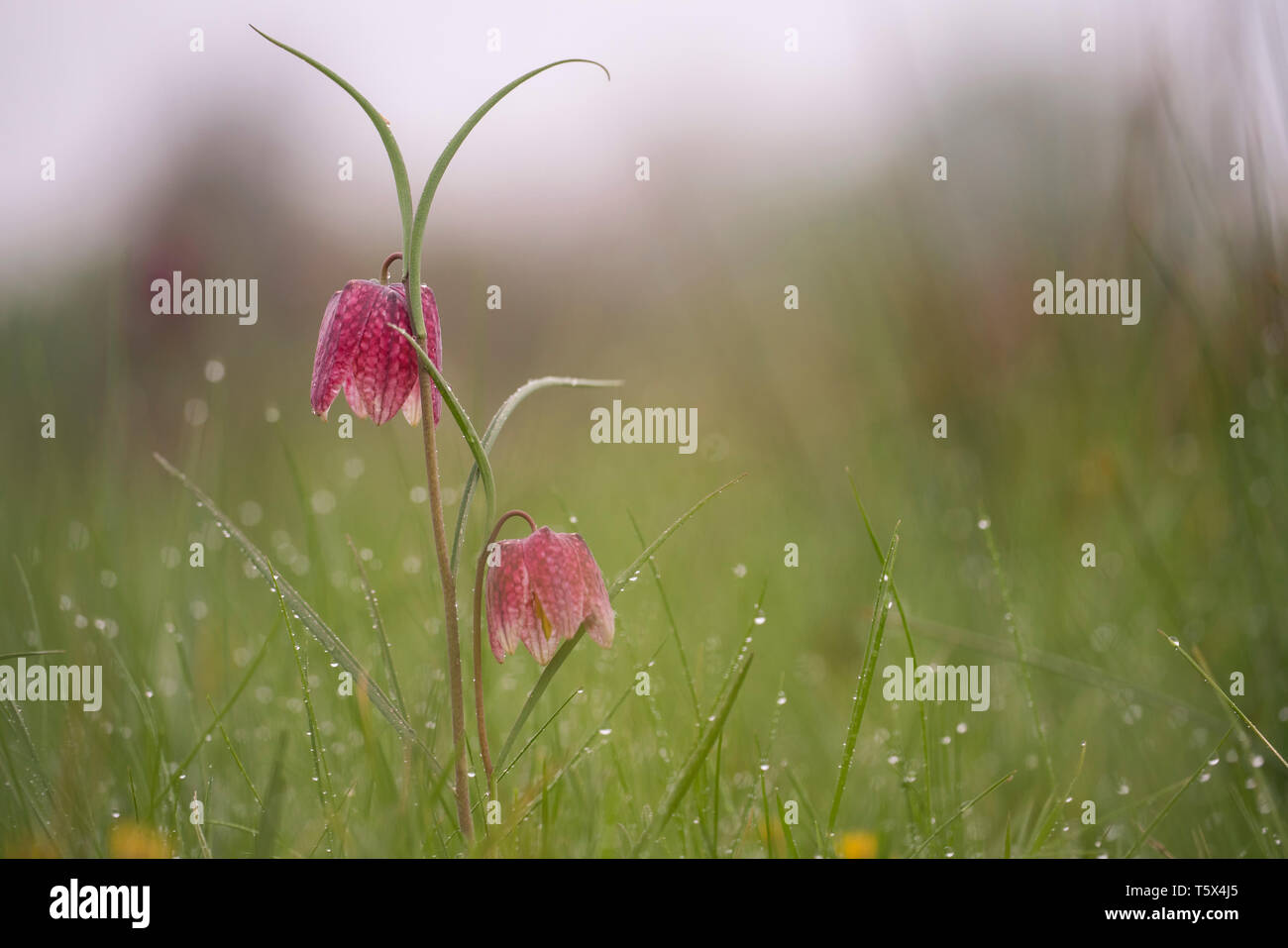 Snakes head fritillary, mid April in an oxfordshire flood meadow Stock Photo