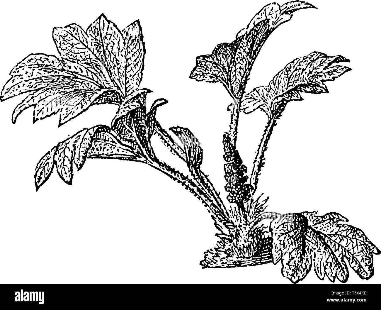 This is images of Chilean Rhubarband also known as the synonym Gunnera Scabra, vintage line drawing or engraving illustration. Stock Vector
