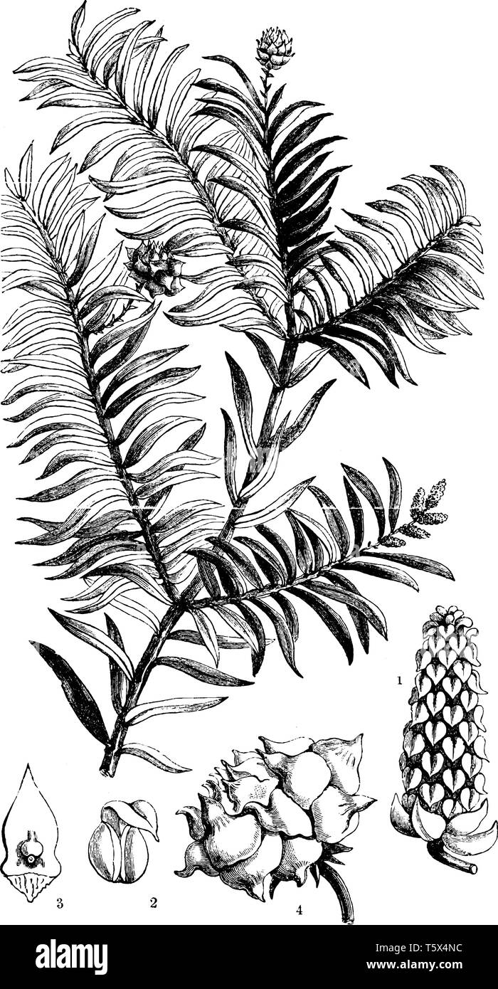 A picture showing different parts of Prince Albert's Yew also known as Saxe-Gothea Conspicua, vintage line drawing or engraving illustration. - Stock Image