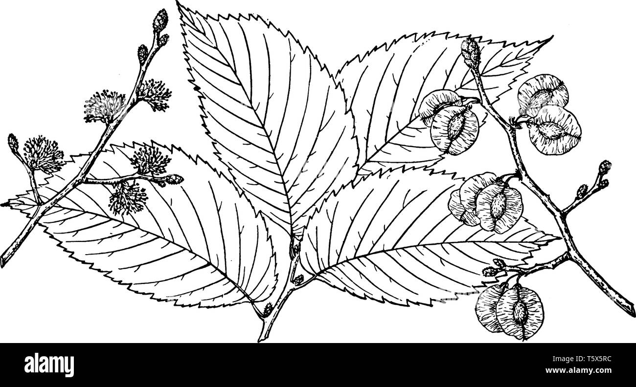 A picture showing the branch of Slippery Elm which is also known as Ulmus fulva. It is native to eastern North America, vintage line drawing or engrav - Stock Image