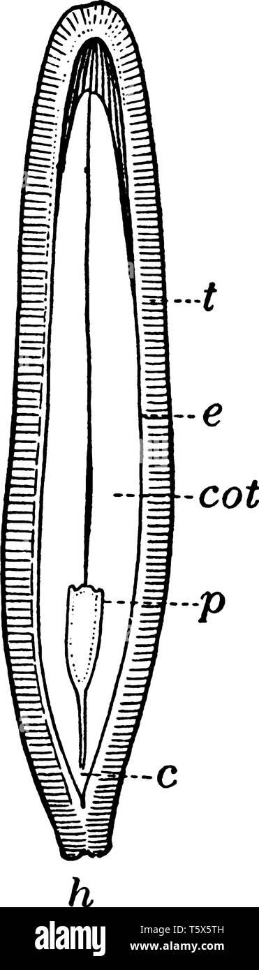 A picture shows the Part of Half cut Squash Seed. Part c shows hypocotyl, part cot shows cotyledon, part e shows endosperm, part h shows hilum, part p Stock Vector