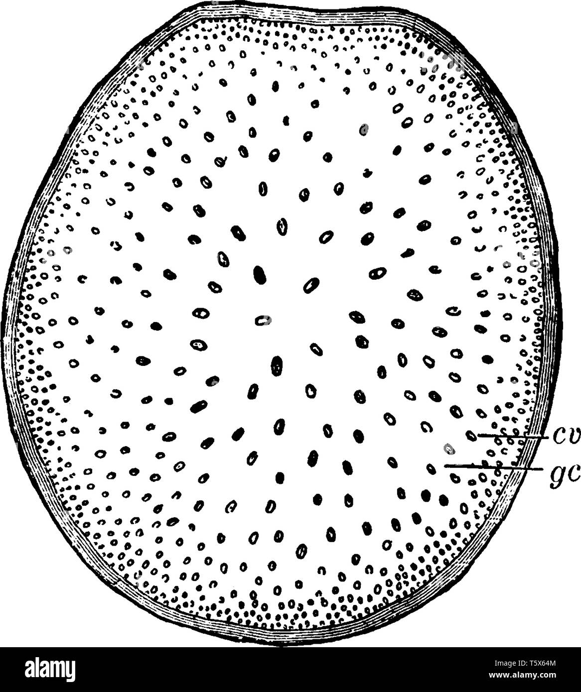 This is image cross-section of stem of Indian corn where cv, fibro-vascular bundles; gc, pithy material between bundles, vintage line drawing or engra - Stock Image