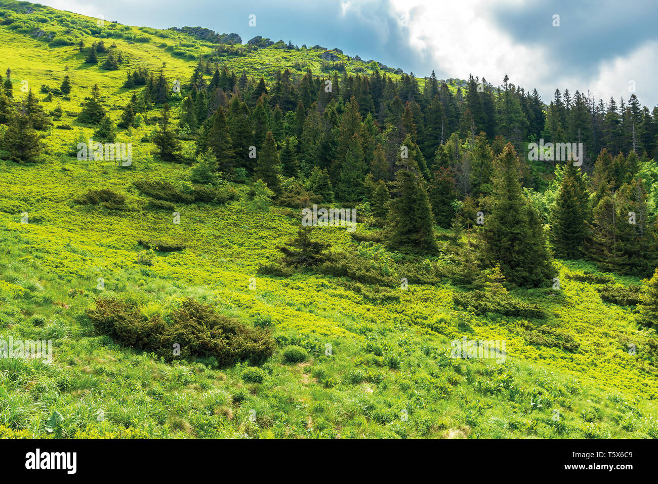 forest on hill in summer mountain landscape.  beautiful scenery on a sunny day with cloudy sky. wonderful nature background. explore carpathians conce - Stock Image