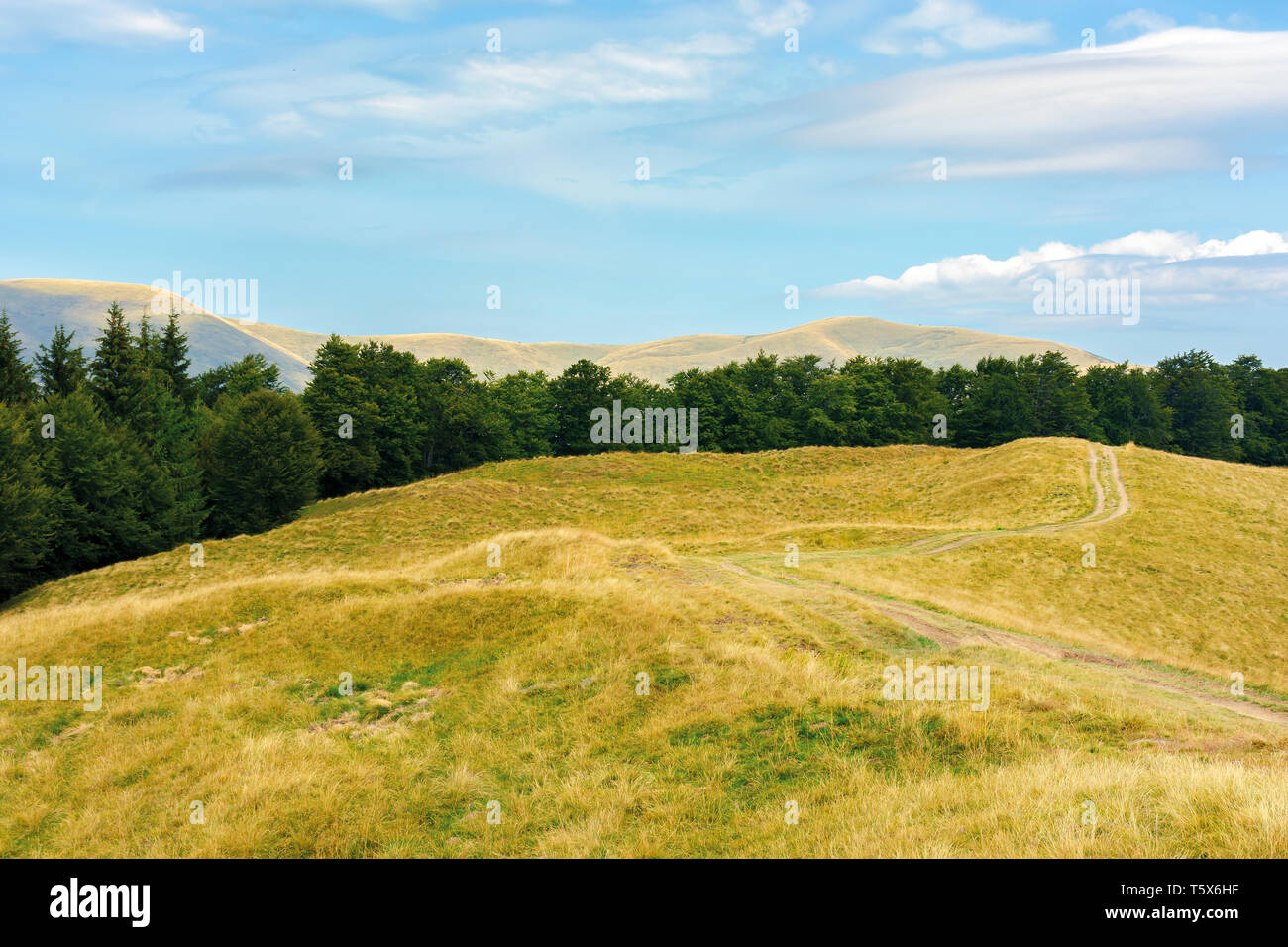 carpathian sub alpine meadows in august. beautiful mountain landscape. road winding in to the distance. primeval beech forest on the edge of a hill. s - Stock Image
