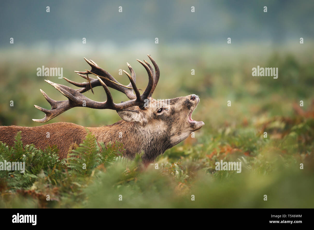 Close-up of red deer stag calling during rutting season in autumn, UK. - Stock Image