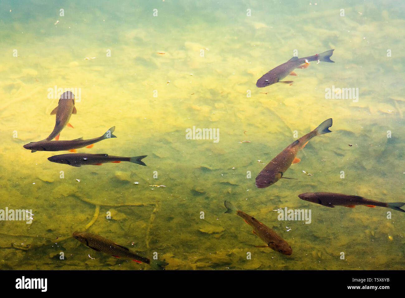 trout fish in the lake. wonderful lighting on the water. beautiful nature background. - Stock Image