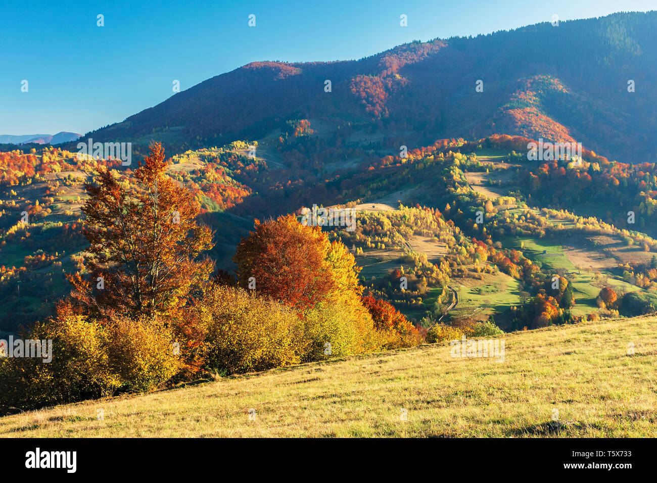 wonderful autumn afternoon in mountains. beautiful countryside scenery with trees in red foliage on the hills; rural area of carpathians. clear blue s - Stock Image
