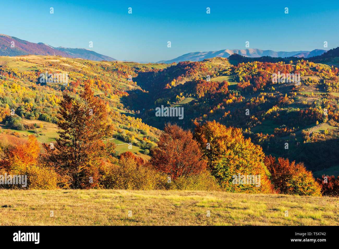 wonderful autumn afternoon in mountains. beautiful countryside scenery with trees in red foliage on the meadow. rural area of carpathians. ridge in th - Stock Image