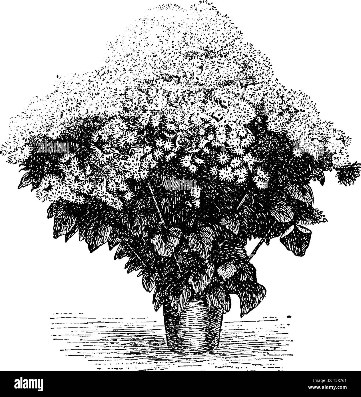 Cineraria plants are one of the most beautiful low growing flowers that can be grown from flower seeds vintage line drawing or engraving illustratio