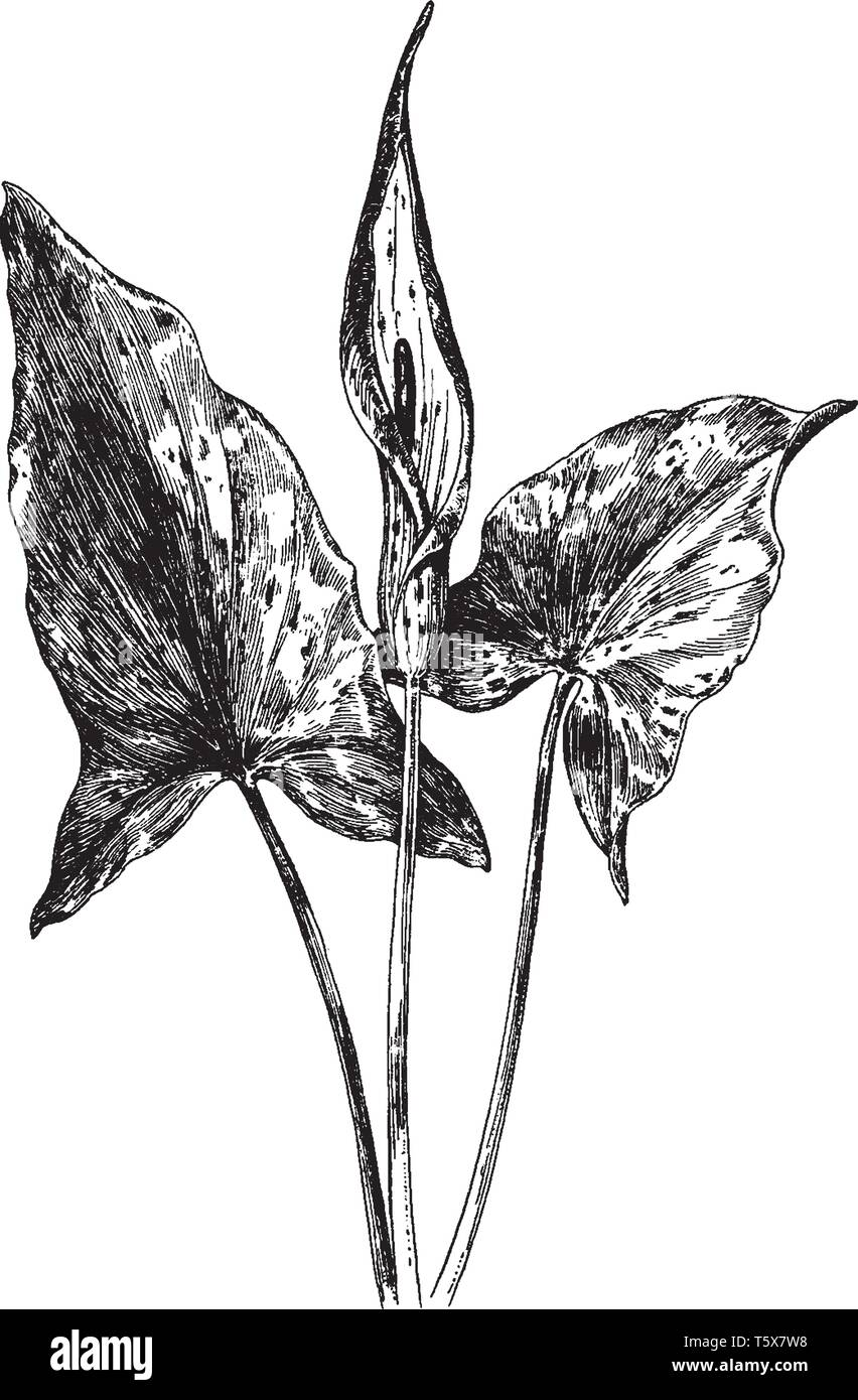 Arum Maculatum is known as Lords and Ladies and Cuckoo Pint. The leaves are Large, shiny 'arrow' shaped and black spotted. It is grow about 1 foot hig - Stock Vector