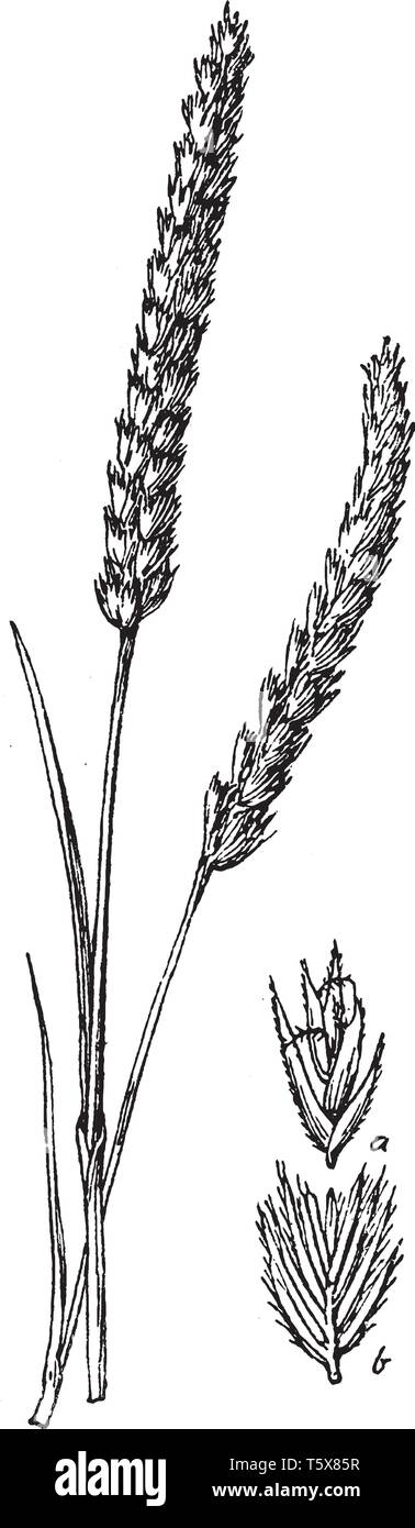 Crested dogstail is found in in a wide variety of lowland grasslands. The grass grows one to two feet high and also it has flat blades and spike-like  - Stock Image