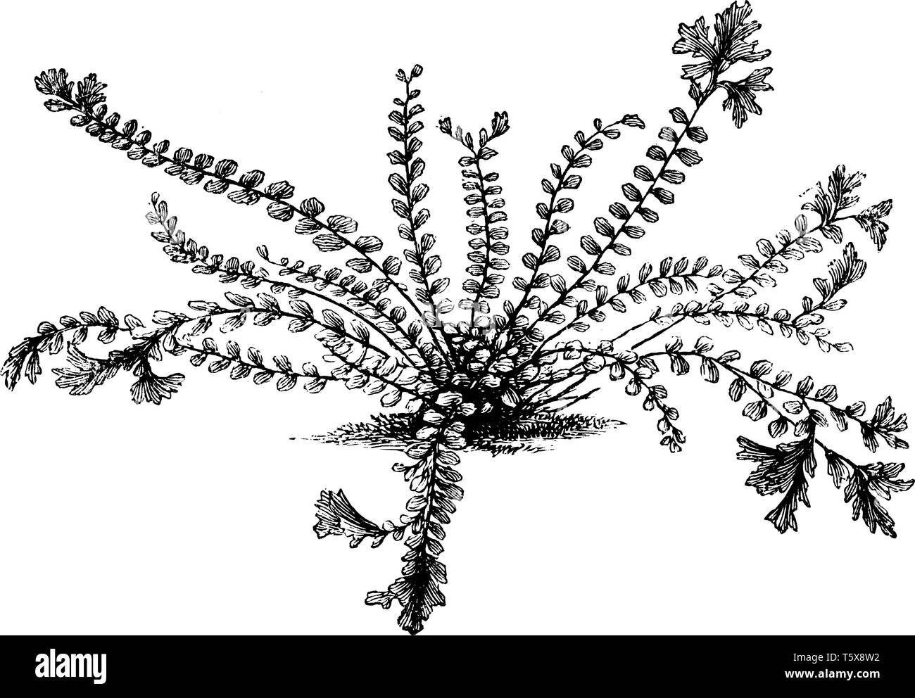 A picture showing Asplenium trichomanes cristatum. This is the crested maidenhair spleenwort. The black stems and forked, crested tips give this fern  - Stock Image