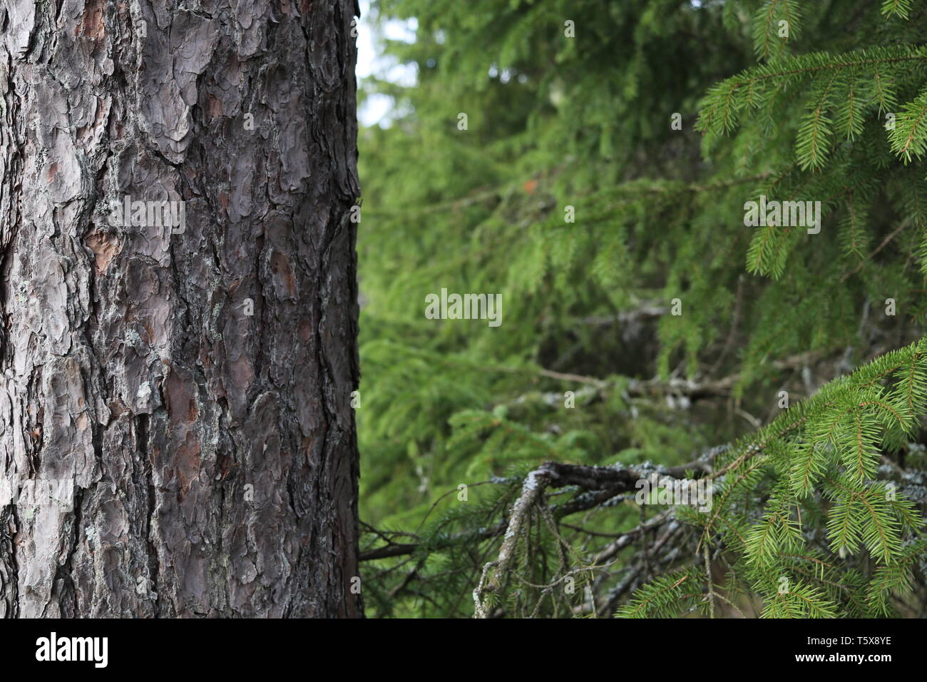 A pine tree trunk with spruces in the background. - Stock Image