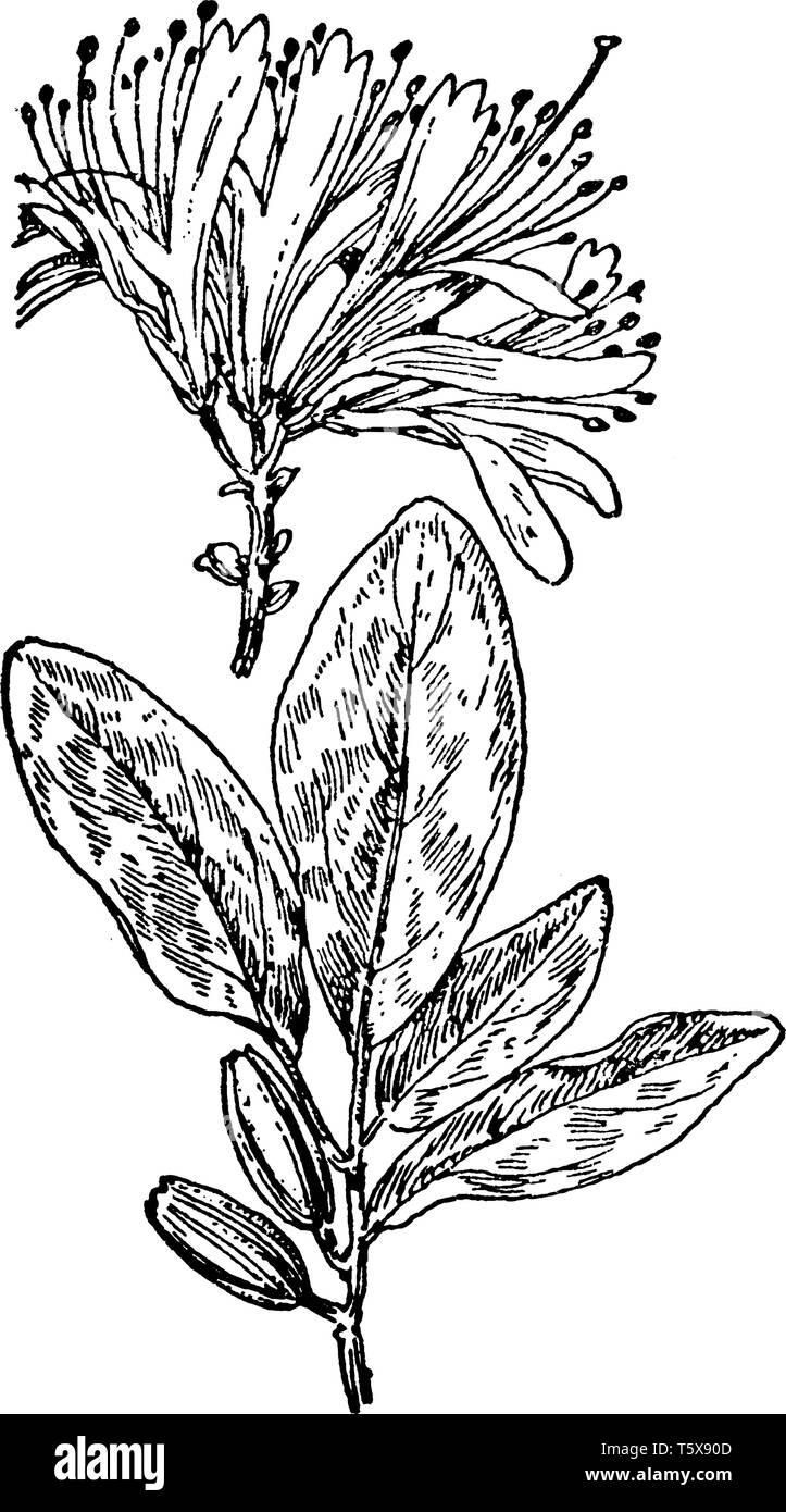 This pictures showing a rhodora. The flowers are small and pinkish-purple. The leaf is very thin and oval shaped. The leaves are broad and oval shaped - Stock Vector