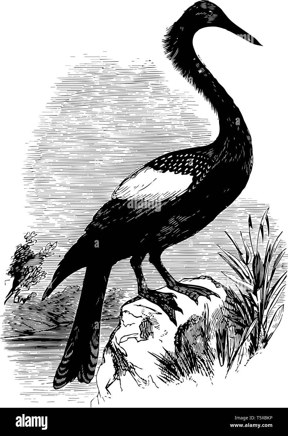 Anhinga called snakebird darter American darter or water turkeywater bird of the warmer parts of the Americasvintage line drawing or engraving illustr Stock Vector