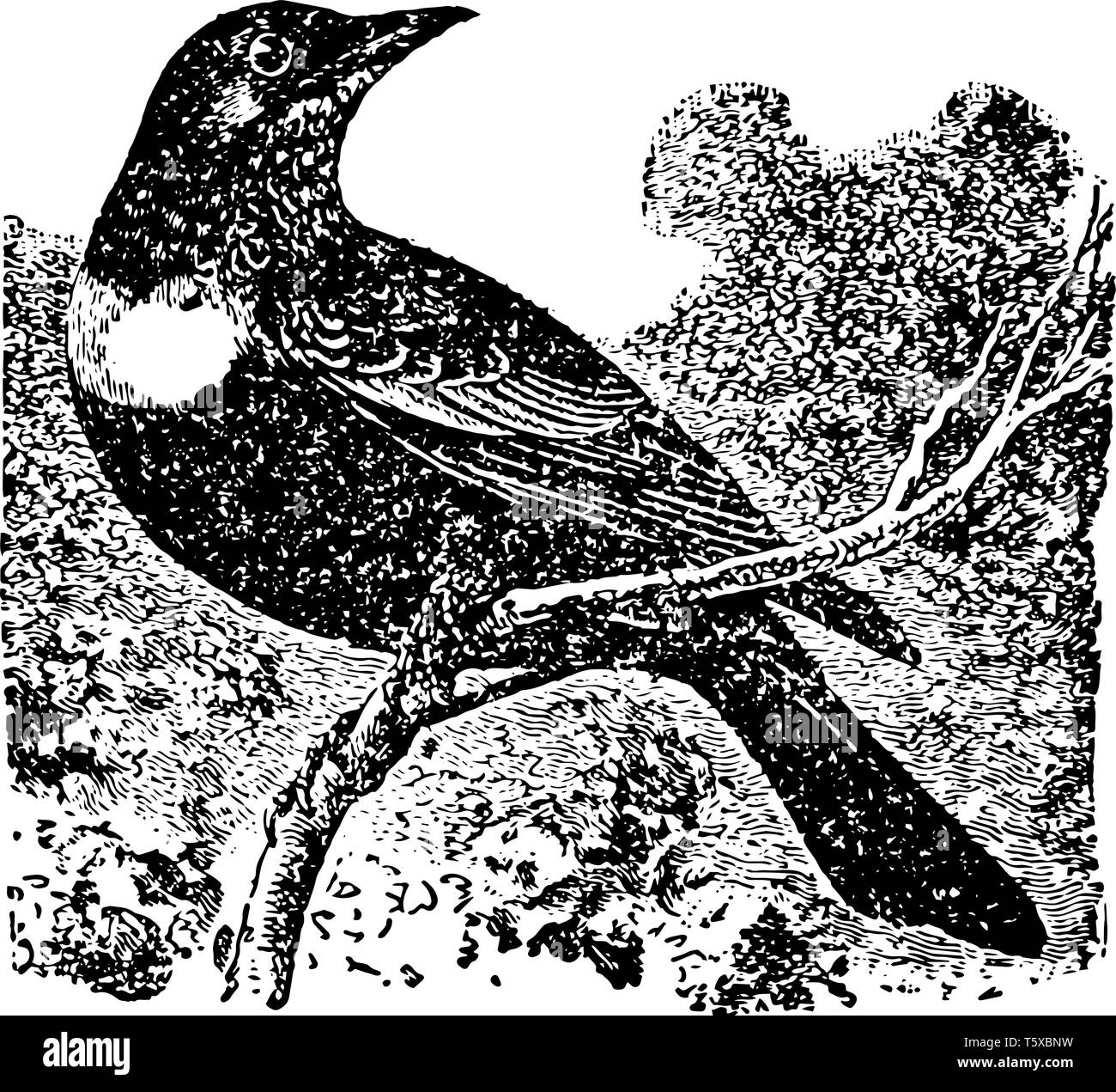 Ring Ouzel is migratory moving far northward in Europe vintage line drawing or engraving illustration. - Stock Vector