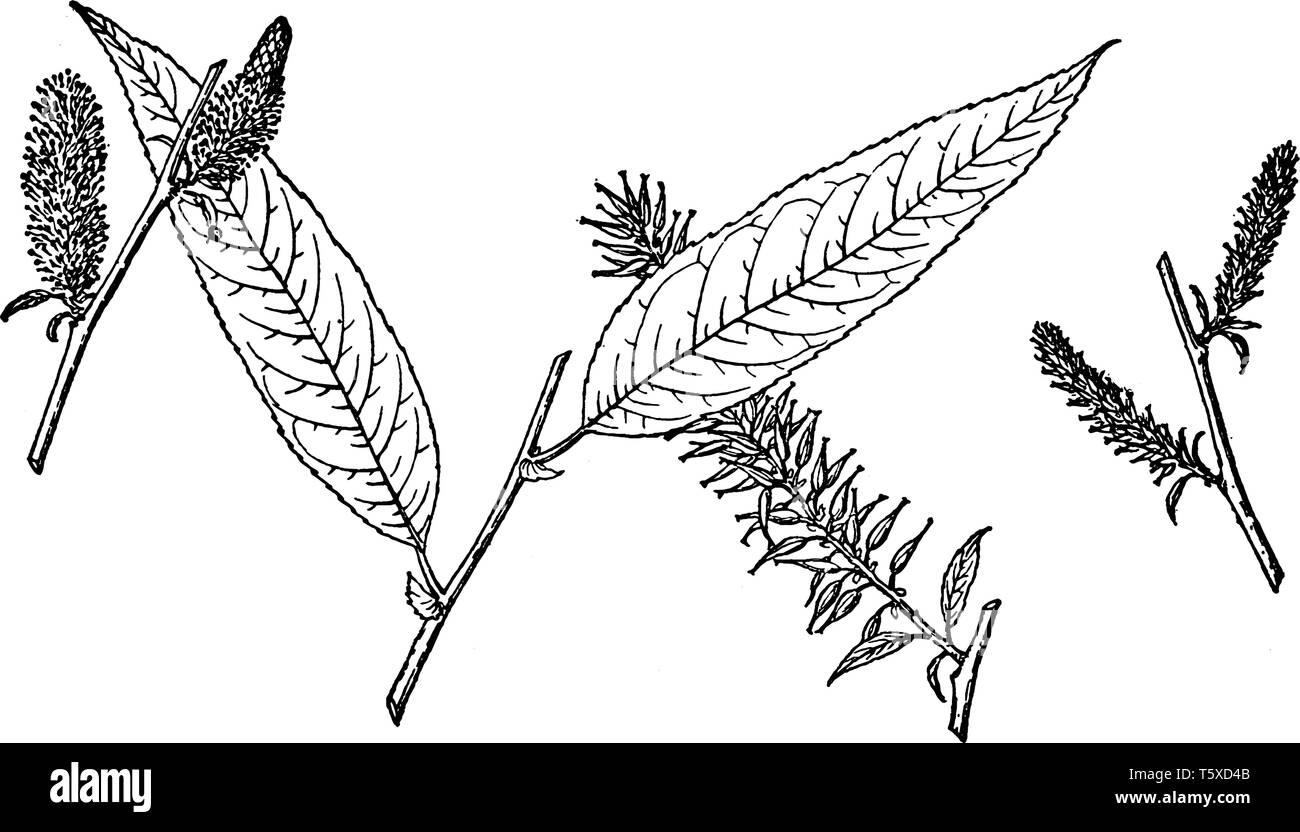 Picture shows the Branch of Salix Missouriensis. Leaves are heart-shaped at the base and are hairy underneath. This multi-trunked small tree has dark, - Stock Image