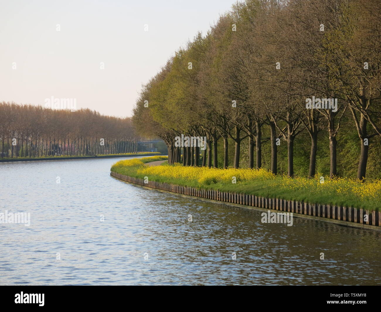 Approaching a bend whilst cruising along the Amsterdam-Rhine canal; a row of trees in the early evening light with a carpet of yellow spring flowers - Stock Image