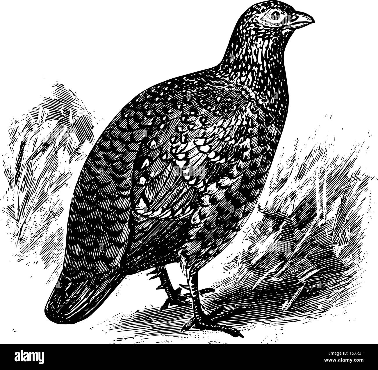 Painted Spurfowl is a bird in the Phasianidae family of pheasants, vintage line drawing or engraving illustration. - Stock Vector
