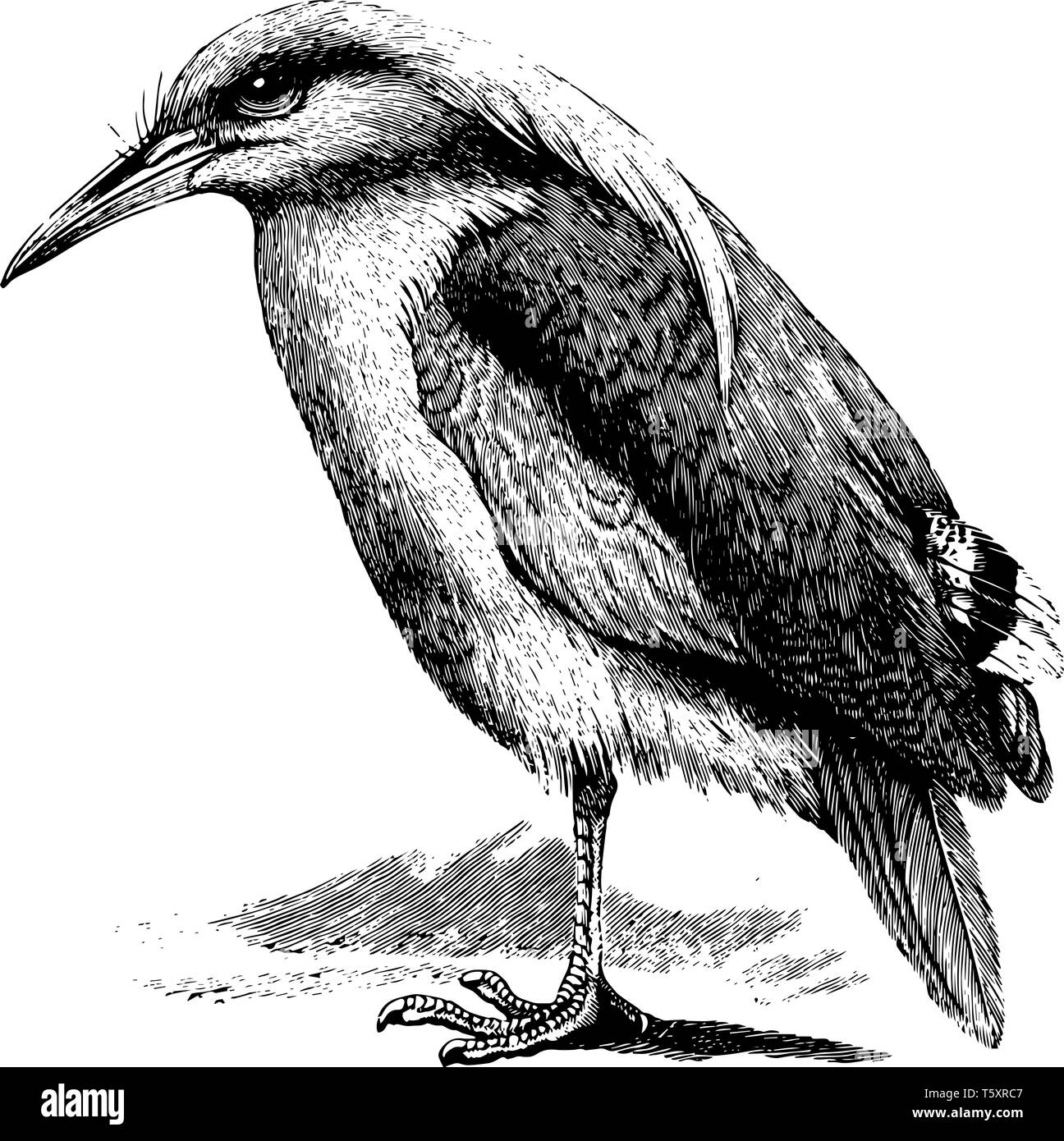 Kagu is a crested long legged and bluish grey bird, vintage line drawing or engraving illustration. - Stock Vector