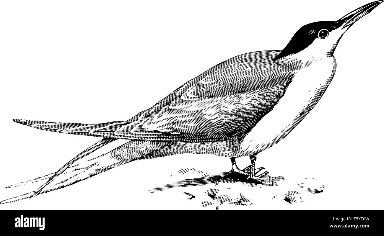 Common Tern occupying the coasts and inland waters of Europe, vintage line drawing or engraving illustration. - Stock Vector