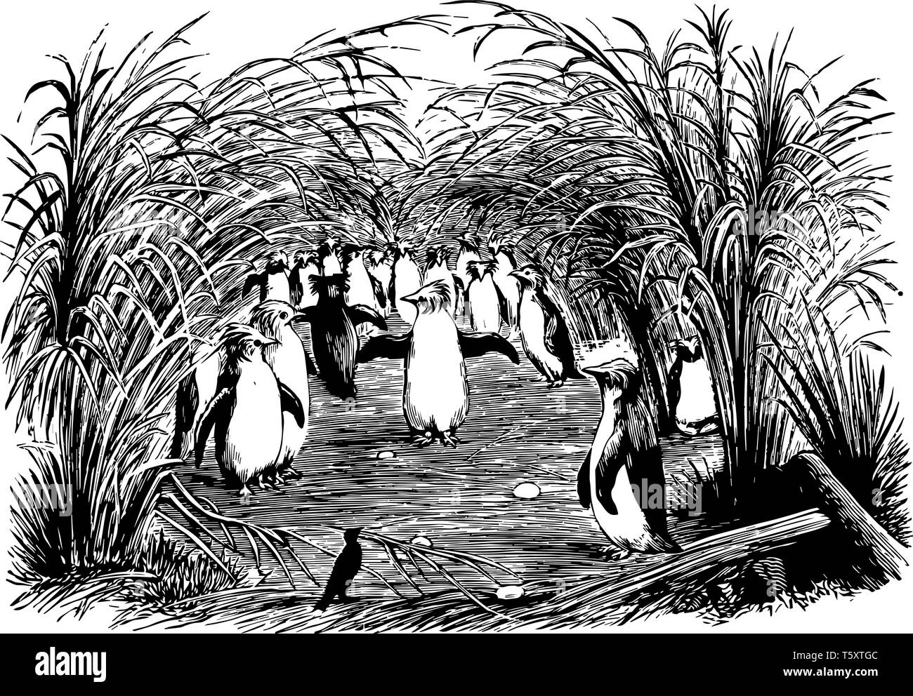 This image represents a Troop of Crested Maccaroni or Rock Hopper Penguins Nesting Under the Shade of Tussock of Trees, vintage line drawing or engrav - Stock Image