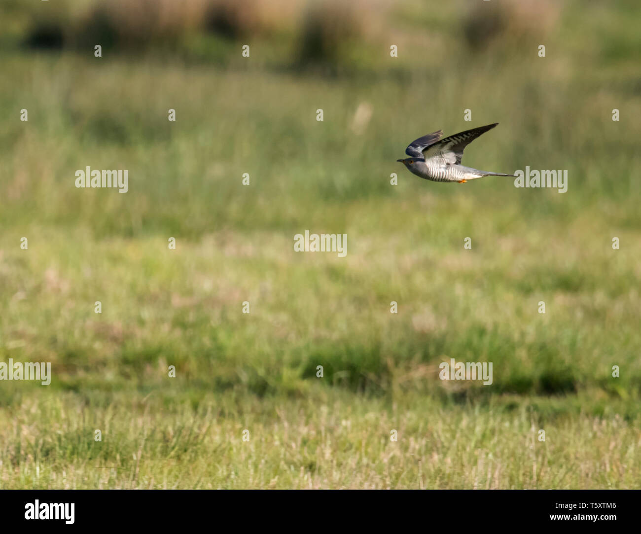 A Cuckoo (Cuculus canorus) in flight low of Oxfordshire grasslands - Stock Image