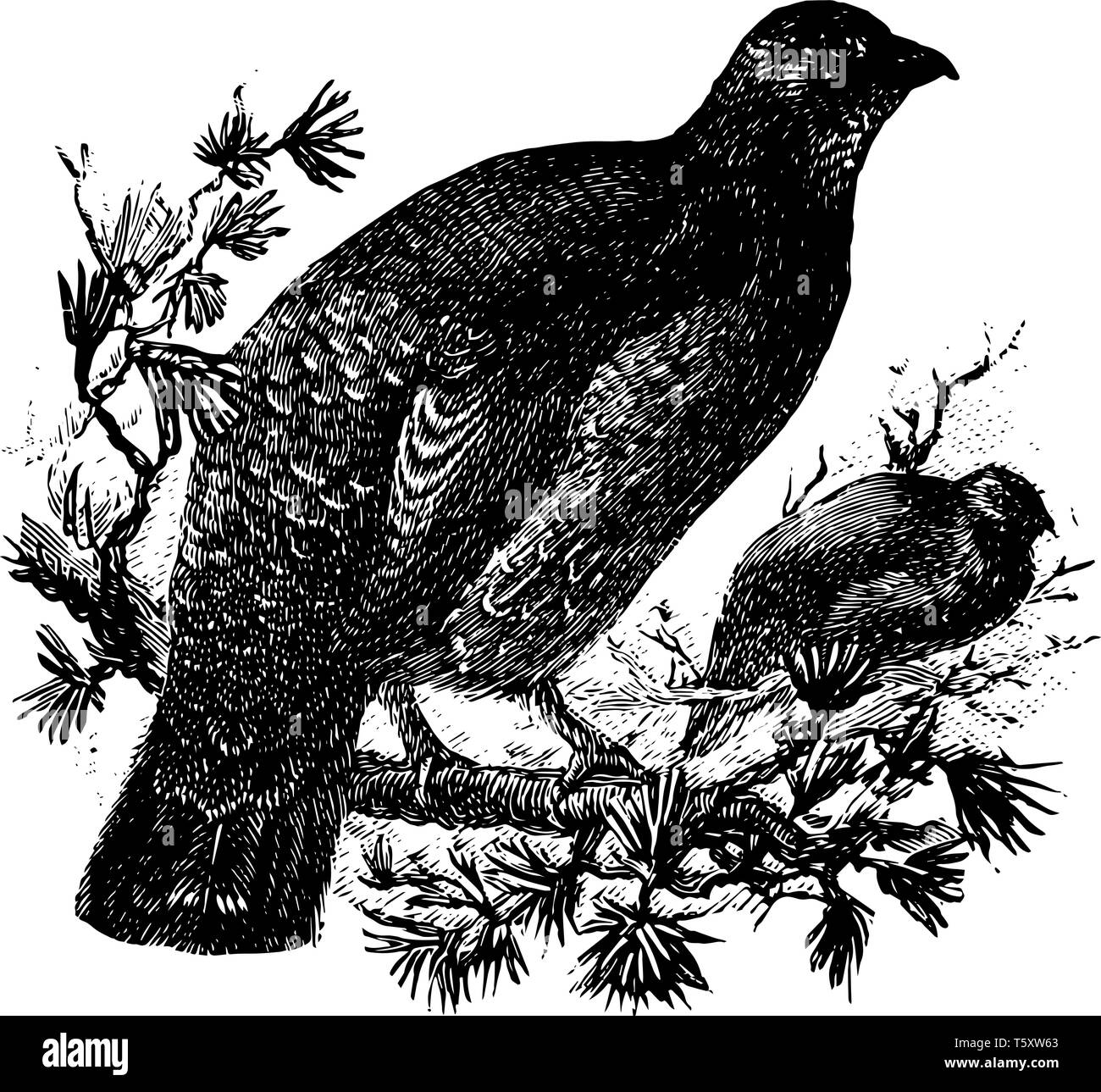 Dusky Grouse is a bird in the Phasianidae family of pheasants and partridges, vintage line drawing or engraving illustration. - Stock Image