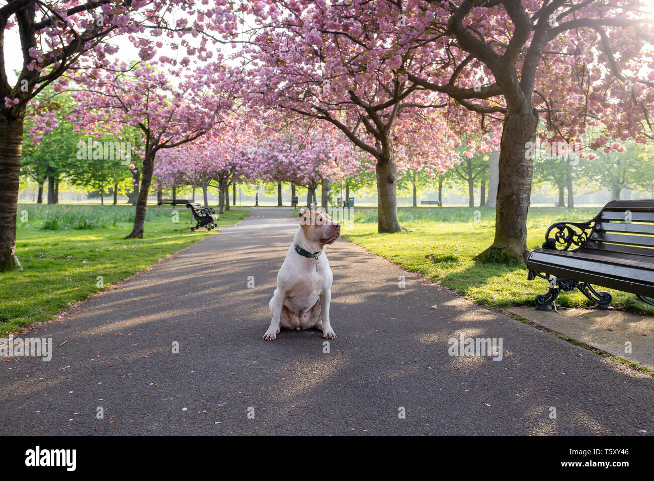 Dog staffordshire terrier sitting on a path with cherry blossom flower tree. - Stock Image