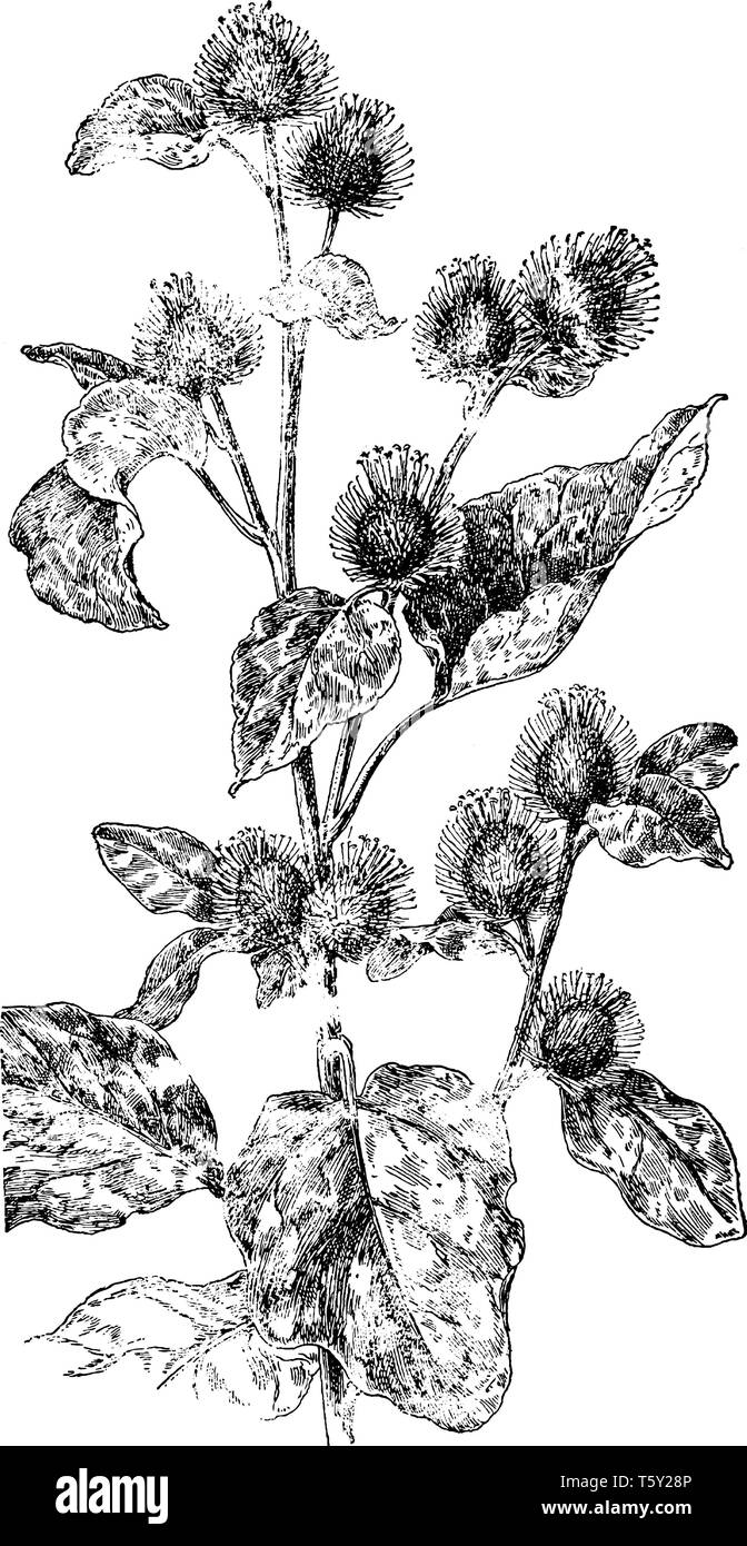Picture of Burdock plant. It is a native of Eurasia. Stem leaves are large, heart-shaped, and very hairy on the undersides, vintage line drawing or en - Stock Image