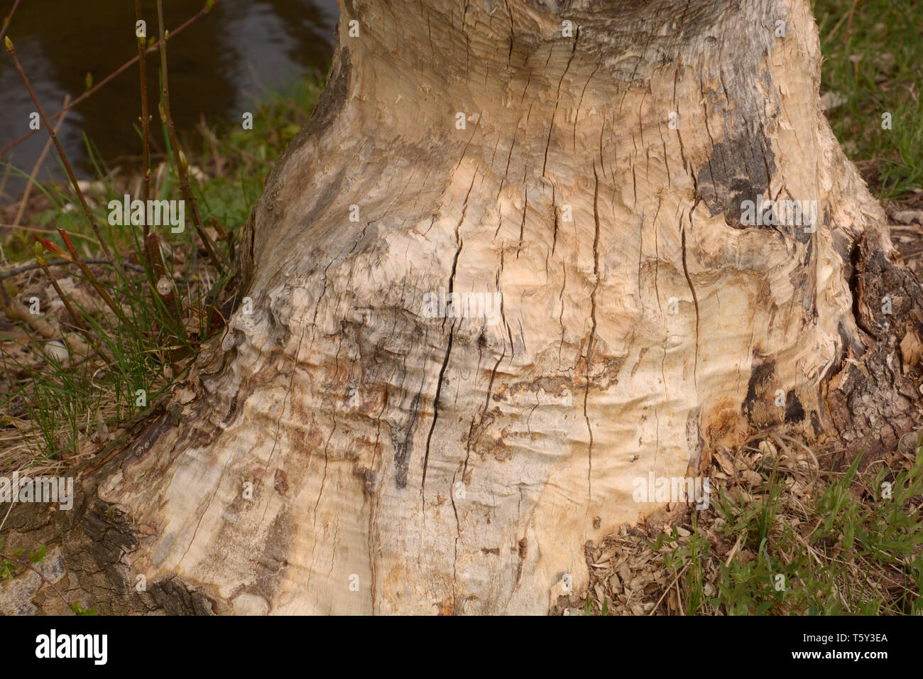 tree damaged by beaver, damaged and gnawed tree caused by beaver also called castoridae in bavaria - Stock Image