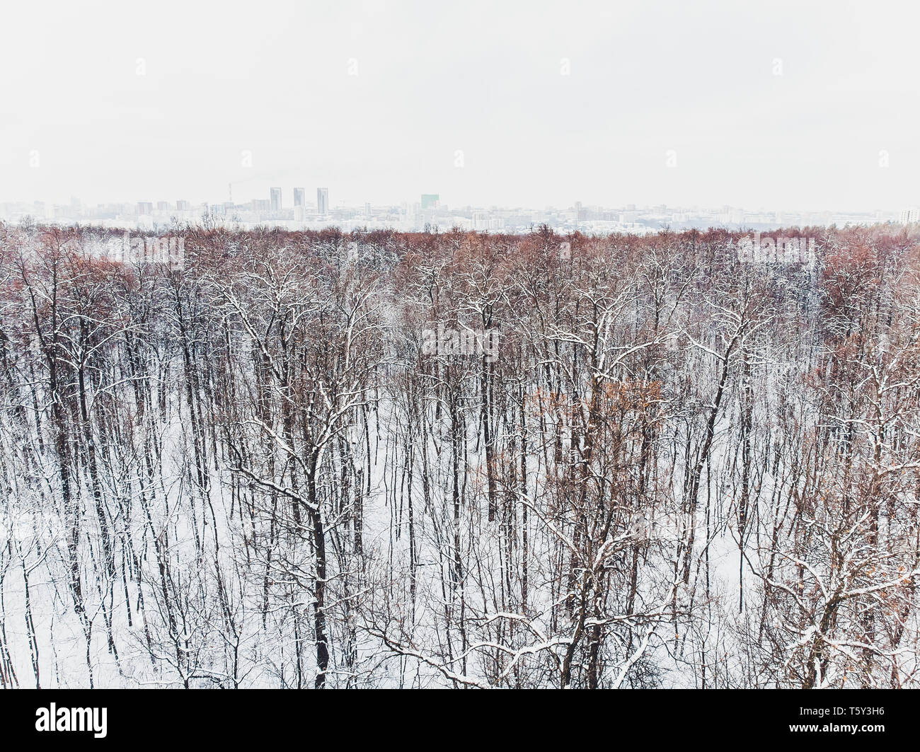 Aerial view of snow covered coniferous forest plantations. Rows of spruces in sunlight. - Stock Image