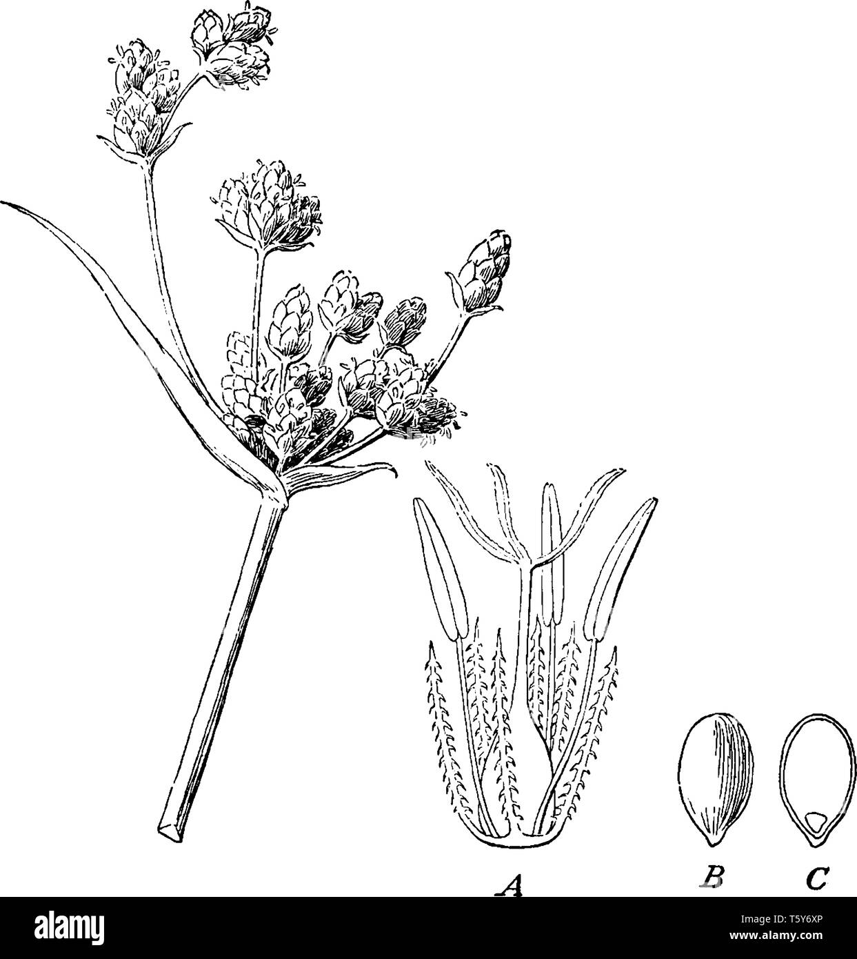 While sedges may be found growing in almost all environments, many are associated with wetlands, or with poor soils its stalk is thick and long, vinta - Stock Image