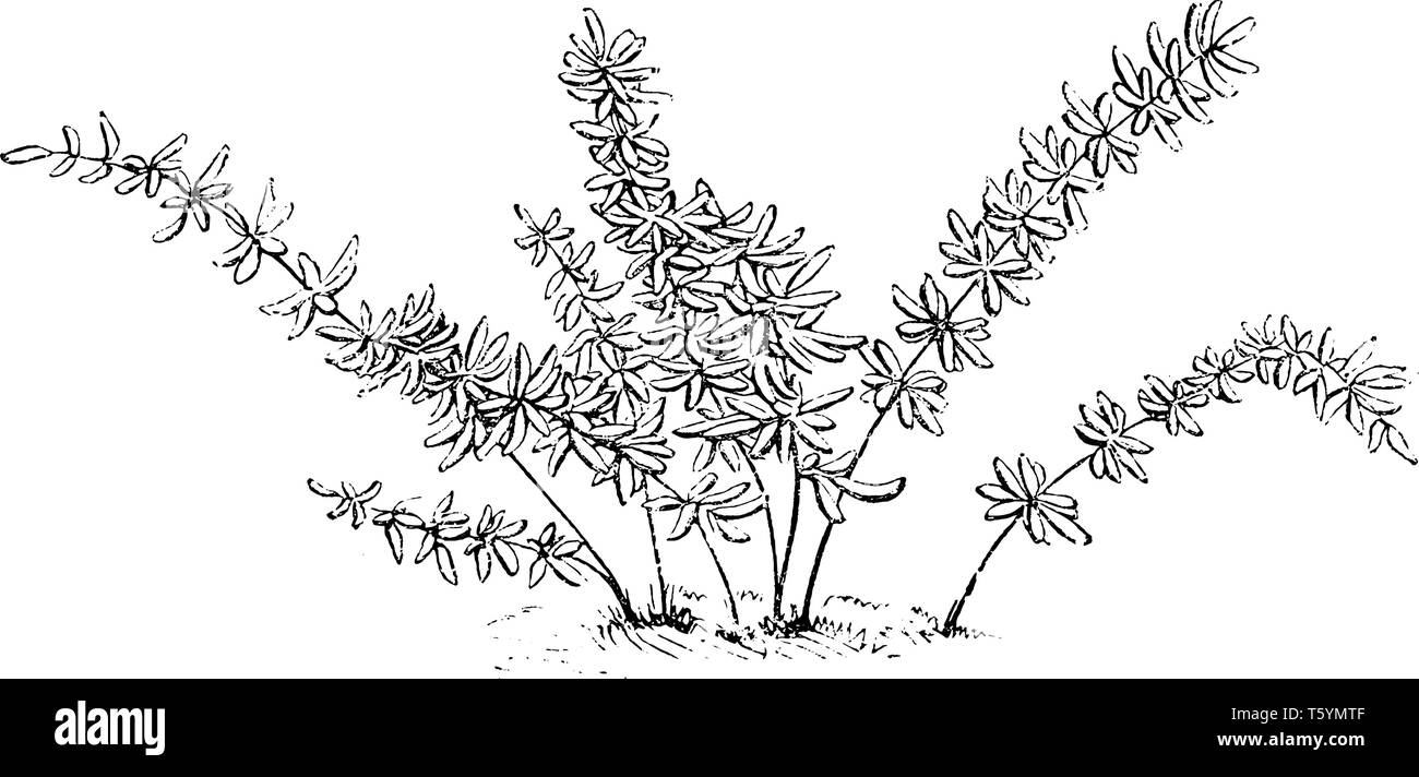 This is Pellaea Brachyptera plant. Stem are compact, ascending, stout, bicolored, linear-subulate, centers dark brown, margins brown, thin, dentate. L Stock Vector